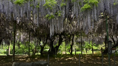 Huge Wisteria Tree with purple blossoms