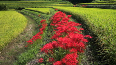 Amaryllis and Rice Terraces,Asuka