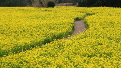 Path Through Rape field,Aichi Prefecture