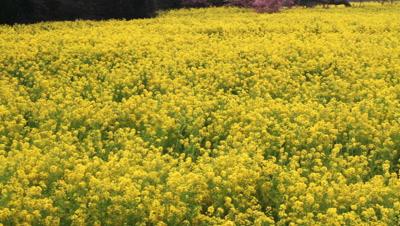 Rape field,Aichi Prefecture