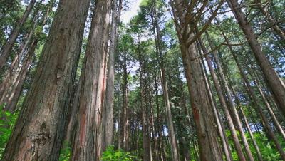 Circular Pan Cypress forest,Nagano Prefecture