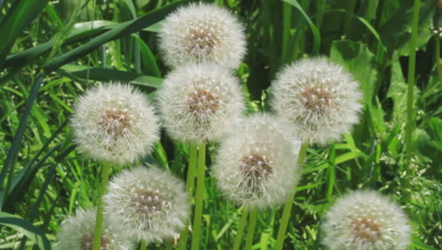 dandelion seed heads in breeze