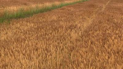 Wheat field in Summer,blowing in wind