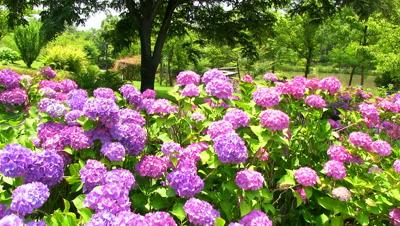 Purple Hydrangea Flowers in garden