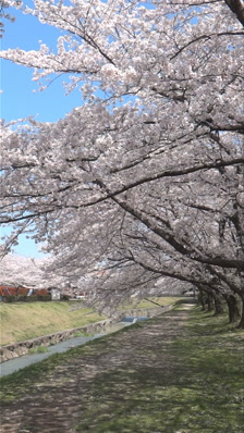 Cherry trees with blossoms nest to stream