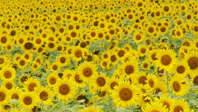 Field Of Sunflowers with butterflies
