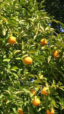Amanatsu or natsumikan citrus fruit trees