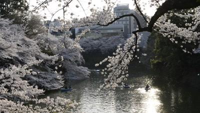 People Row Boats,Hanami cherry blossom viewing at Chidorigafuchi,Tokyo,Japan