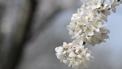 Trees Edge Pond,Close Up OF Flowers,Hanami cherry blossom viewing at Inokashira Park,Tokyo