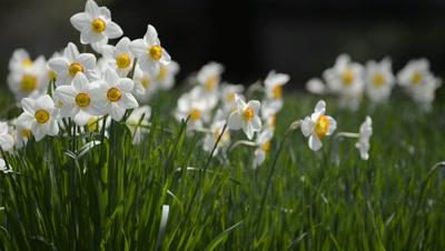 Narcissus,daffodil flowers at Hibiya Park,Tokyo,Japan