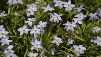 Spring star flowers at Hibiya Park,Tokyo