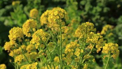 close up Rapeseed plant,flowers,Kanagawa Prefecture,Japan