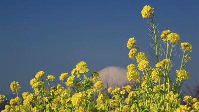 Rapeseed field and Mount Fuji,Kanagawa Prefecture,Japan