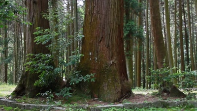 Japanese Cedar Grove,Aichi Prefecture