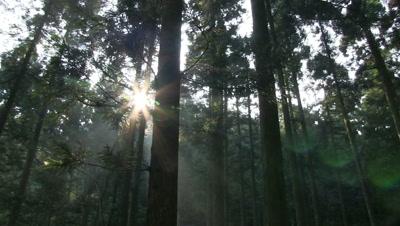 sunlight steams through Japanese Cedar Grove,Fukui Prefecture