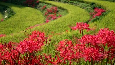 Amaryllidaceae flowers mixed into rice paddy