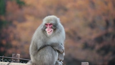 Japanese snow monkey rests on fence,Kyoto,Japan