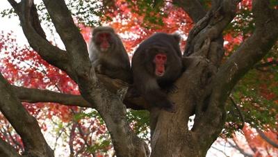 Japanese snow monkeys rest in tree,Kyoto,Japan