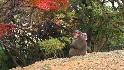 Japanese snow monkeys in fall,Kyoto,Japan