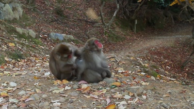 Japanese snow monkeys groom near path,Kyoto,Japan