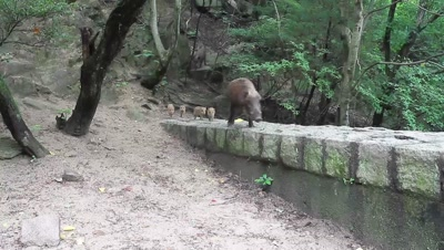 Wild boar and piglets at edge of forest
