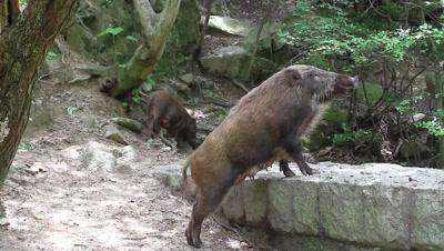 Wild boara at edge of forest,stream