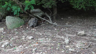 Wild boar rests at edge of forest