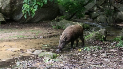 Wild boar at edge of forest,wades in stream