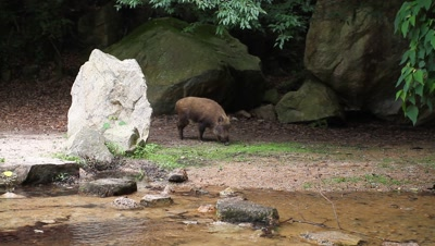 Wild boar at edge of forest,stream