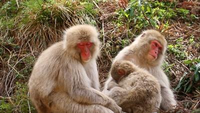 Japanese snow monkeys rest