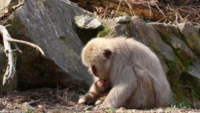 Japanese snow monkey feeds while nursing baby