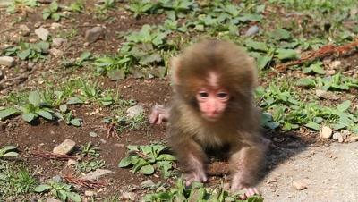 Japanese snow monkey newborn baby