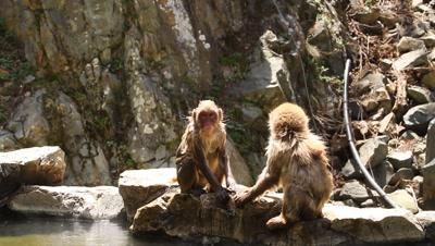 Japanese snow monkeys nest to hot spring