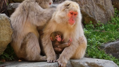 Japanese snow monkey grooms another holding baby