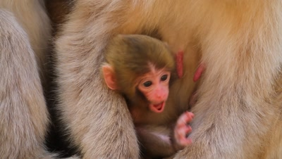 Japanese snow monkey nurses wiggly newborn