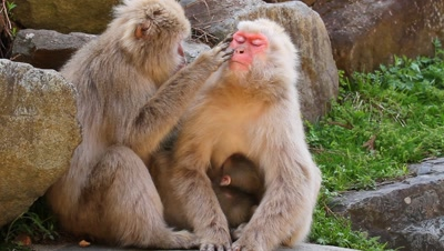 Japanese snow monkey grooms another nursing babby