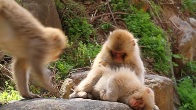 Japanese snow monkeys,one grooms another
