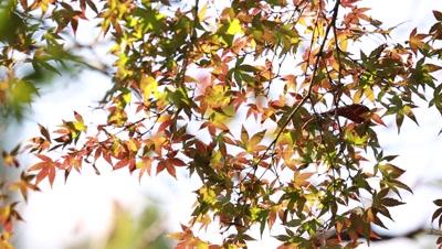 Maple leaves fluttering in the wind,Tokyo,Japan