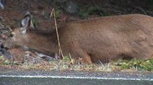 Deer Graze On Side Of Road In Olympic National Park