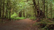 Hiking Trail Through Temperate Rainforest