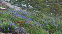Field Of Lupin At Mt. Rainier National Park