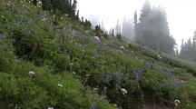 Lupin At Mt. Rainier National Park