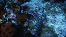 A Single Banded Sea Snake Encounters A Second Snake As It Hunts Around A Coral Reef