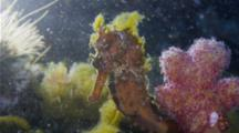 A Thorny Seahorse Decorated In Green Moves Gently In A Current While Anchored To The Bottom
