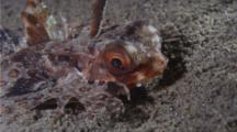 A Helmut Gurnard, Feeds On Animals By Combing The Sandy Bottom