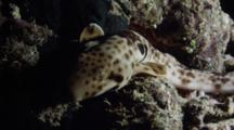Epaulette Shark Hunting At Night