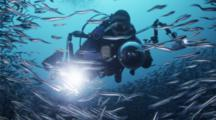 An Underwater Photographer Swims Through A Large School Of Convict Blennies Gathered To Spawn On A Deep Reef.