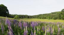 Wild Lupins Field