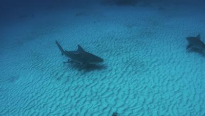 Bull Sharks Patrol The Sandy Bottom