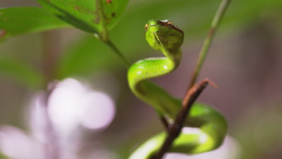 A Green Tree Viper Moves Slowly Amongst Leaves Tasting The Air As Raindrops Fall On Leaves
